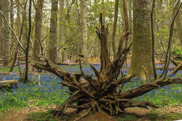 Les racines d'un arbre devant un champ de fleurs bleues
